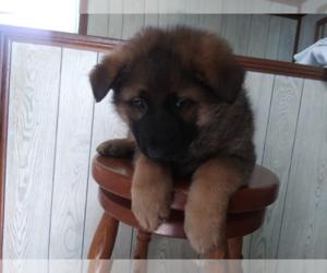 German Shepherd Dog Dog for Adoption in S BEND, Indiana USA