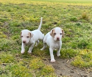 Pointer Puppy for sale in CENTREVILLE, MD, USA