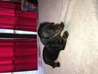 Dachshund Puppy For Sale in FREEPORT, OH,