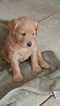 Labradoodle Puppy For Sale in FLAGLER BEACH, FL