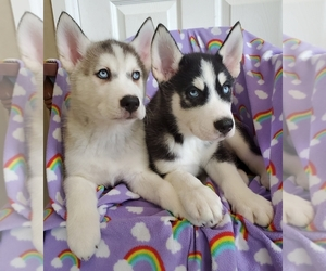Siberian Husky Puppy for Sale in NEWPORT, Nebraska USA