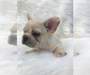 French Bulldog Puppy for sale in JUPITER, FL, USA