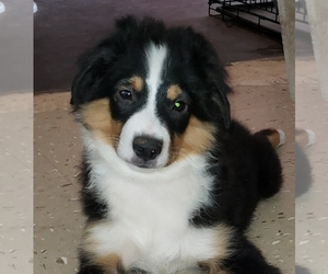 Miniature Australian Shepherd Puppy for sale in OCTAVIA, OK, USA