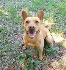 Princess Elsa - Carolina Dog / Hound / Mixed (long coat) Dog For Adoption