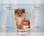 Small #5 Pomeranian