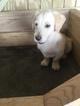 Labrador Retriever-Miniature Bernedoodle Mix Puppy For Sale in ARTHUR, IL, USA