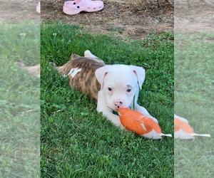 Olde English Bulldogge Puppy for sale in ATHENS, AL, USA
