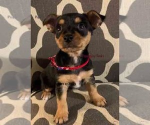 Chorkie Puppy for Sale in GROVEPORT, Ohio USA