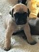 Daniff Puppy For Sale in CALIFORNIA, Missouri,
