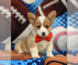 Pembroke Welsh Corgi Puppy for sale in GLEN ROCK, PA, USA