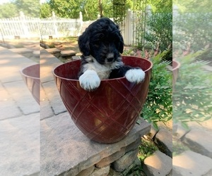 F2 Aussiedoodle Puppy for sale in AIKEN, SC, USA
