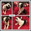 Boston Terrier Puppy For Sale in ODENVILLE, AL, USA