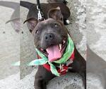 Small #93 American Staffordshire Terrier-Bull Terrier Mix