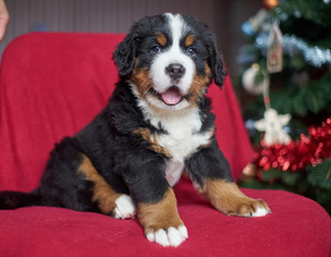 Bernese Mountain Dog Puppy For Sale in Kyiv, Kyiv City, Ukraine
