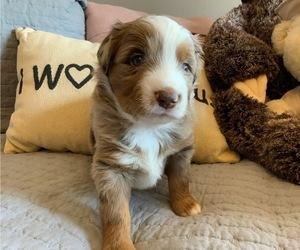 Miniature Australian Shepherd Puppy for sale in DEL CITY, OK, USA