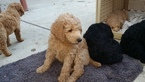 Poodle (Standard) Puppy For Sale in STOCKTON, CA, USA