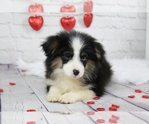 Miniature Australian Shepherd Puppy for sale in CAULFIELD, MO, USA