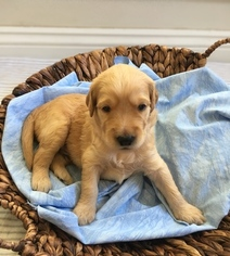 Puppies and Dogs for Sale in Pensacola, FL, USA