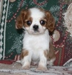 Cavalier King Charles Spaniel Puppy For Sale in HOUGHTON, IA,