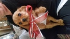 Cavalier King Charles Spaniel Puppy For Sale in WALDRON, IN, USA
