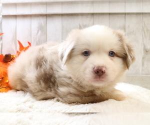 Australian Shepherd Puppy for Sale in STAFFORD, Virginia USA