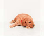 Small #2 Goldendoodle (Miniature)