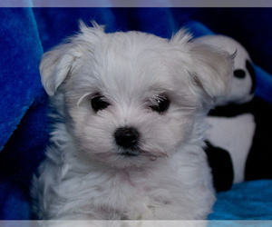 Maltese Puppy for sale in CHEYENNE, WY, USA