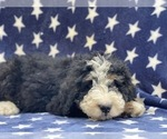 Small #2 Bernedoodle