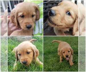 Golden Retriever Puppy for Sale in BLUE MOUNDS, Wisconsin USA