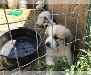 Great Pyrenees Puppy for sale in MARTHASVILLE, MO, USA