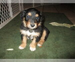 Puppy 0 English Shepherd