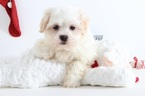 Jake Male Teddy Bear Puppy