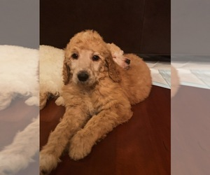 Poodle (Standard) Puppy for Sale in ISSAQUAH, Washington USA