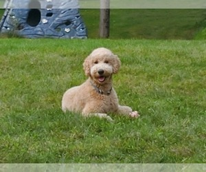 Father of the Goldendoodle puppies born on 11/21/2020