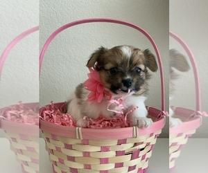 Pomeranian-Yo-Chon Mix Puppy for Sale in LAS VEGAS, Nevada USA