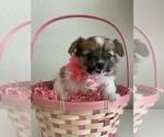 Puppy 1 Pomeranian-Yo-Chon Mix