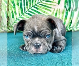 French Bulldog Puppy for sale in ROCKLEDGE, FL, USA