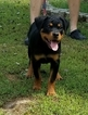 Rottweiler Puppy For Sale in PROSPERITY, SC, USA