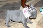 French Bulldog Puppy For Sale in CLACKAMAS, Oregon,