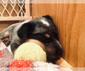 Australian Cattle Dog Puppy for sale in PAHRUMP, NV, USA
