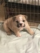 English Bulldogge Puppy For Sale in SPRING HILL, FL, USA