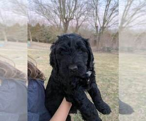 Goldendoodle Puppy for sale in SULLIVAN, MO, USA