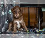 Puppy 6 F2 Aussiedoodle