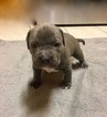 American Pit Bull Terrier Puppy For Sale in TRACY, CA, USA