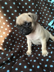 Pug-Puggle Mix Puppy For Sale in BELLEVILLE, PA, USA