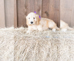 Puppy 10 Goldendoodle