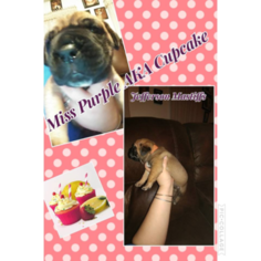 Cane Corso Puppy For Sale in WAVERLY, VA, USA