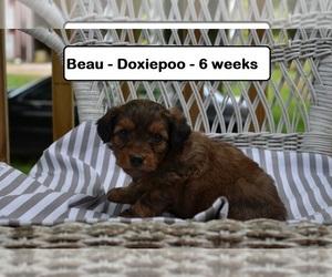 Doodle Dog for Adoption in CLARKRANGE, Tennessee USA