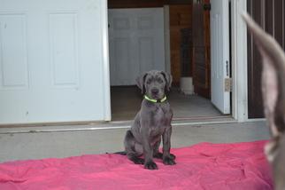 Great Dane Puppy For Sale in DUBLIN, VA