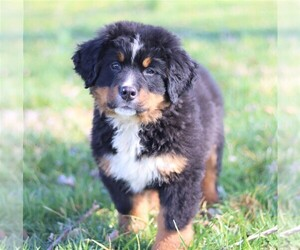 Bernese Mountain Dog Puppy for sale in WINDSOR, KY, USA